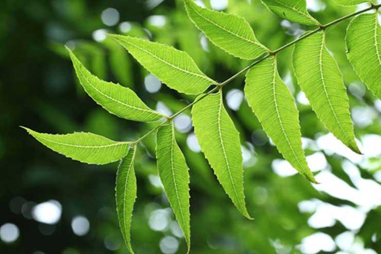 Azardirachta-Indica