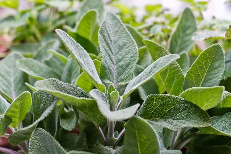 Sage-Leaves